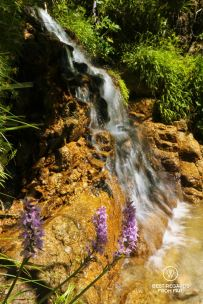 Flowers and mountain streams along the GR 20, Corsica, France