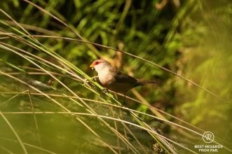 Common Waxbill along the Kingfisher trail, George, South Africa