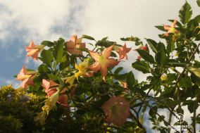 Orange tropical flowers in Mafate on the exclusive multiday hike through the 3 cirques, Réunion Island.