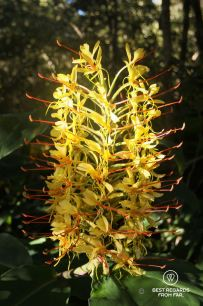 Blooming Ginger Lily, a beautiful but invasive species, Réunion Island