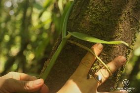 Unstucking the crampon of the vanilla plant to prevent it from growing too high, Réunion