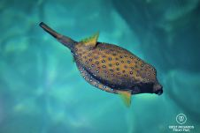 SCUBA diving with a boxfish
