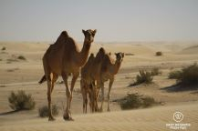 Camels roaming the desert