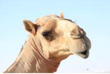 Camel striking a pose