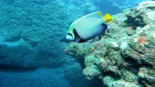 SCUBA diving with an emperor angelfish