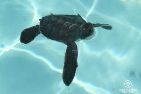 Green turtle baby, Kelonia, Réunion