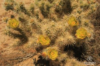 Spring bloom of cactus flowers, Joshua Tree National Park, USA