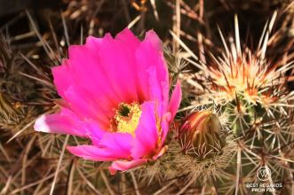 Spring bloom of cactus flowers.