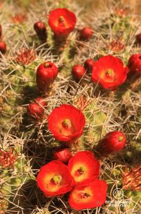 Claret Cup cactus blooming.