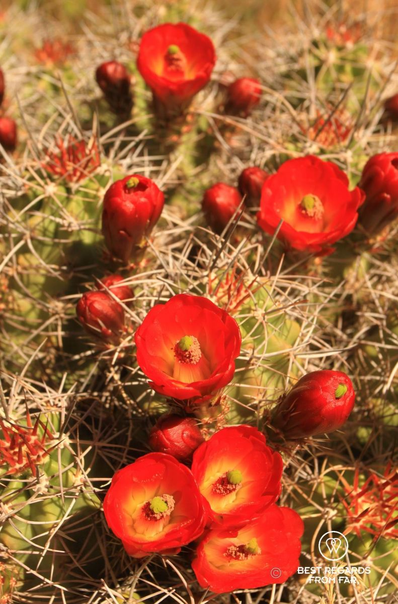 Claret Cup cactus blooming.