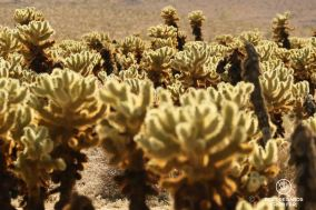 The cactus garden, Joshua Tree National Park, USA