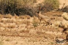 Jack Rabbit in Joshua Tree National Park, USA
