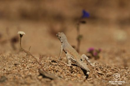 Lizard posing amongst desert flowers, Joshua Tree National Park, USA