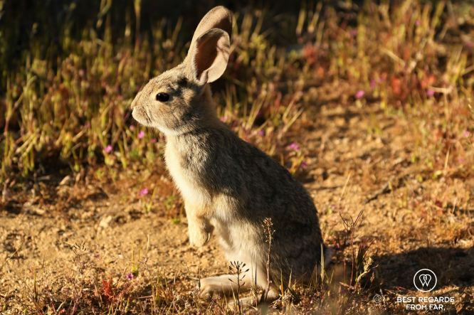 Rabbit in early morning light, Joshua Tree National Park, USA