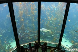 The kelp forest at the Monterey Bay Aquarium, Monterey, USA