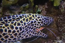 Cleaner shrimp and honeycomb moray eel