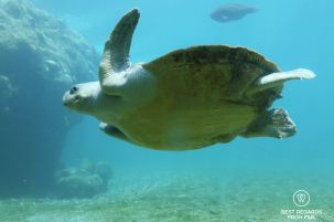 Olive ridley turtle, Kelonia, Reunion Island