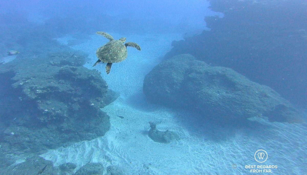 Sea turtle, Reunion Island