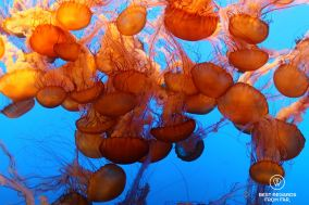 Sea Nettle at the Monterey Bay Aquarium, Monterey, Utah