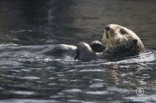 Sea Otter in the Monterey Bay Aquarium, Monterey, USA