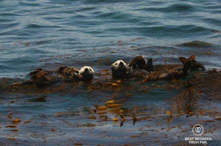 A Sea Otter raft along Big Sur, USA