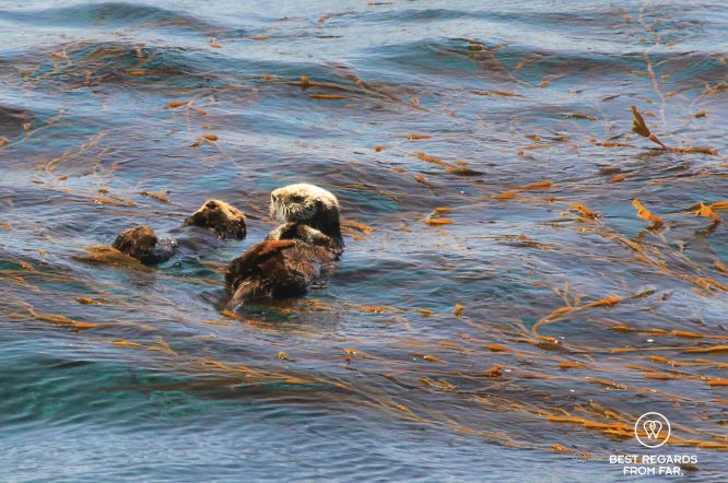 A baby and mother Sea Otter along Big Sur, USA