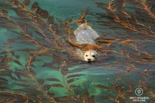 Seal amongst the kelp forest in Big Sur, California, USA