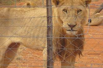 Emaciated lion in South Africa, Anonymous