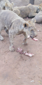 Lion with mange in captivity in South Africa, Anonymous