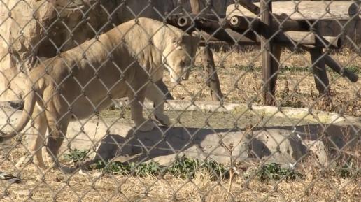 Lioness breeding, photo credit: Blood Lions