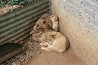Captive cubs, photo credit: Blood Lions