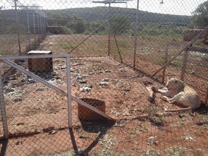 Captivity, photo credit: Blood Lions