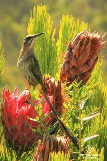 Long-tailed Cape Sugarbird, Kirstenbosch Botanical Garden, Cape Town, South Africa