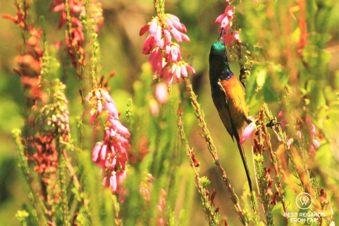 Orange-breasted Sunbird in the Kirstenbosch Botanical Garden, Cape Town, South Africa