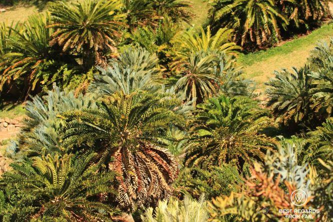 Cycad garden, Kirstenbosch Botanical Garden, Cape Town, South Africa