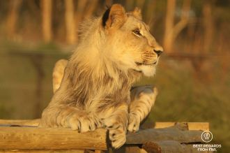 Chaka, rescued as he was kept as a pet, Panthera Africa, South Africa
