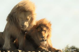 Oliver and Obi saved from the canned lion hunting industry, Panthera Africa, South Africa