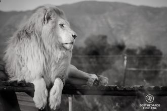 Neptune, saved from the canned lion industry and now living safely at Panthera Africa, South Africa