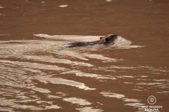 Beaver floating by while rafting the Cataract Canyon section of the Colorado River, Utah, USA.