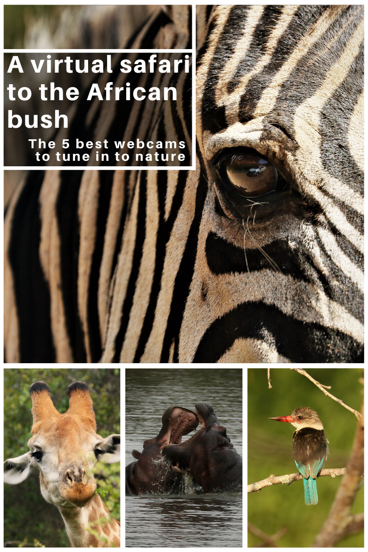 Pin with close up of a zebra and African animals referring to the best webcam virtual safaris