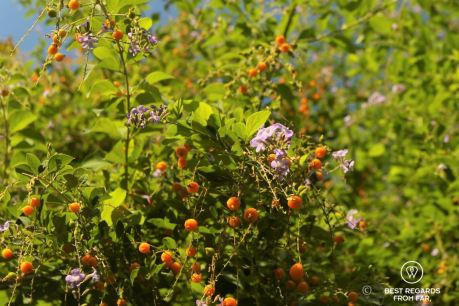 Orange berries and purple flowers in the Anafiotika area of Athens, Greece