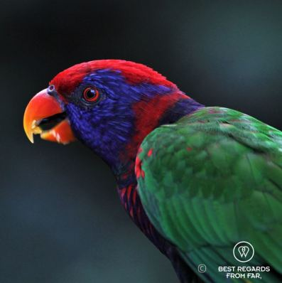 Portrait of a colorful rainbow lorikeet bird at the Edward Youde Aviary, Hong Kong Island