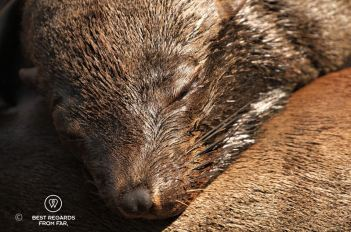 Portrait of a Cape Fur sound asleep in the sun showing its thermally insulated skin