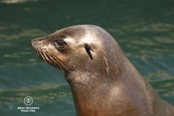 Portrait of a Cape Fur Seal with its ears sticking out