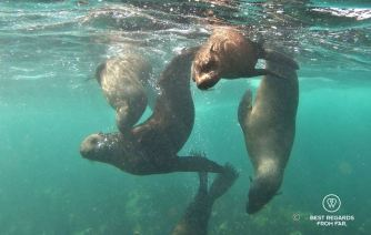 Cape Fur Seals swimming in the Atlantic Ocean in Cape Town during a snorkeling session