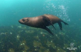Cape Fur Seal swimming in the Atlantic Ocean in Cape Town during a snorkeling session