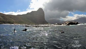 Seals swimming around Duiker Island while snorkelling in Hout Bay, Cape Town, South Africa