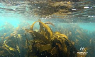 The kelp forest in the cold waters of the ocean