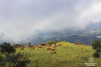 Cows grazing on a green and fertile mountain leading to the Furnace Peak on the volcanic Reunion Island, Plaine des Remparts