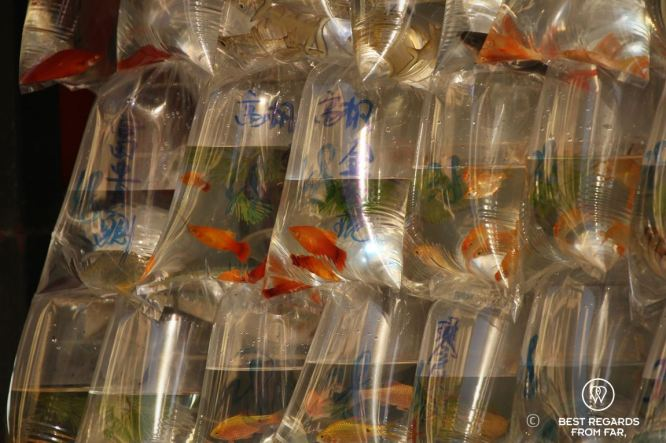 Goldfish sold in transparent bags for luck in Kowloon, Hong Kong